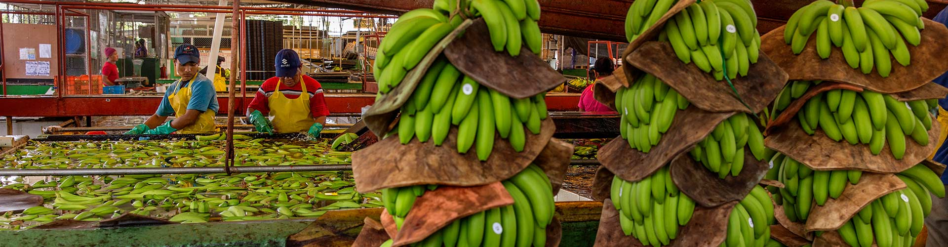 AgroFair-Fairtrade-Bio-Organic-Bananas-Fruit-home-slider-02