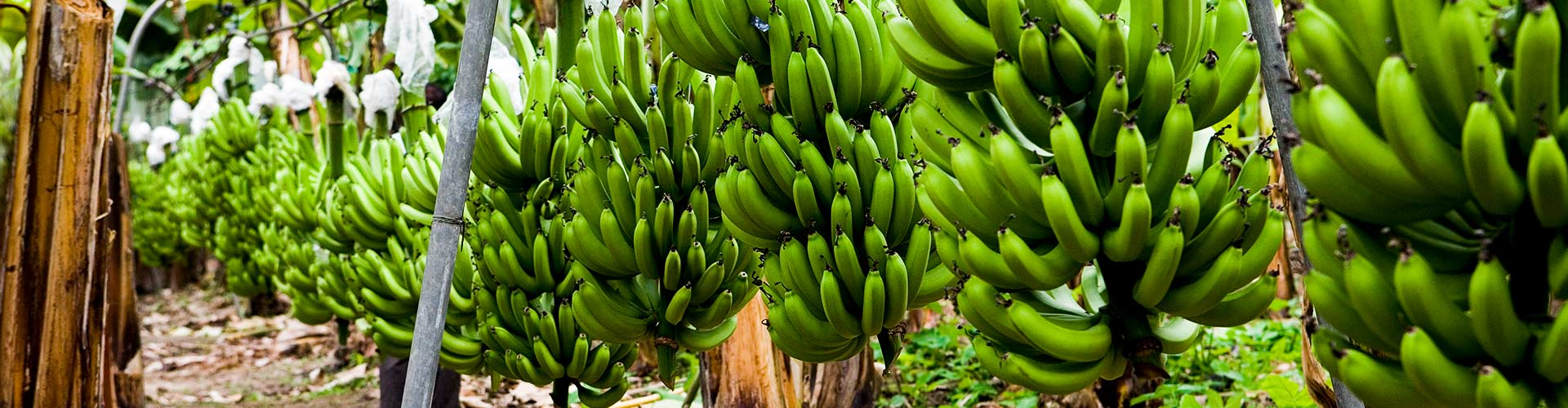 AgroFair-Fairtrade-Bio-Organic-Bananas-Fruit-home-slider-03