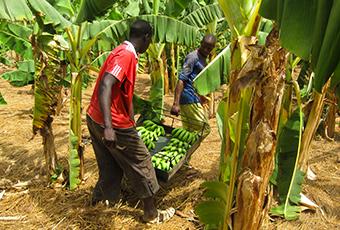 AgroFair-Senegal_Improving-bananas-for-the-local-market-01