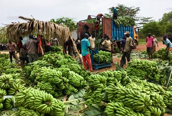 AgroFair-Senegal_Improving-bananas-for-the-local-market-03
