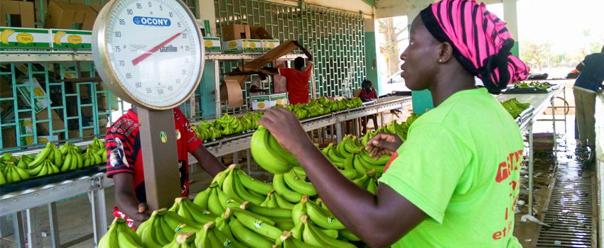 AgroFair-Senegal_Improving-bananas-for-the-local-market-04