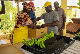 AgroFair-Senegal_Improving-bananas-for-the-local-market-07