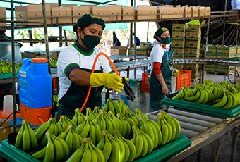 Agrofair-celebrates-25-years-of-fairtrade-bananas-02